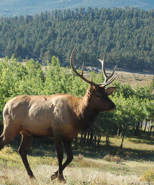 Hunt for Elk During The Right Times of The Day